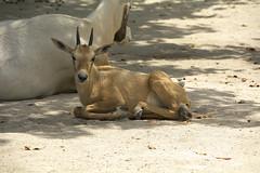 Arabian Oryx (Oryx leucoryx) (ucumari photography) Tags: ucumariphotography zoo miami fl florida march 2018 arabianoryx oryxleucoryx animal mammal hoofstock dsc3673