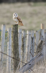 Barn Owl (mikedenton19) Tags: barn owl barnowl tyto alba tytoalba bird prey birdofprey predator malton northyorkshire wildlife grassland nature