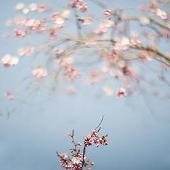 cherry bow (pixiespark) Tags: sakura cherryblossoms kirschblüte blossoms blüten branches zweige bow bogen bokeh nature natur cherrybow