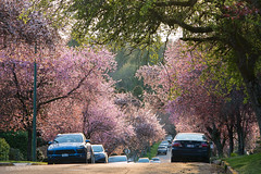 Bloomcouver 🌸🌳🌸 Vancouver, BC (Michael Thornquist) Tags: cherryblossoms prunusaccolade sakura pink blossoms blooming spring spring2018 vancouverphotos dunbarneighbourhood ilovevan jawdr jawdoctor vancouver britishcolumbia dailyhivevan vancitybuzz vancouverisawesome veryvancouver 604now photos604 explorecanada ilovebc vancouverbc vancouvercanada vancity pacificnorthwest pnw metrovancouver gvrd canada 500px