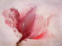 Second Tulip (lensletter) Tags: tmi tulip spring pink texture lensletter flower icolorama leonardo photoshop stackables