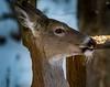 """Not by the hair of my chinny-chin-chin!"" (Dr. Farnsworth) Tags: deer whitetaileddeer mammal pig kangaroo 3littlepigs samthesham hairs beauty salon fernridge mi michigan spring april2018"