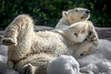 Playing in the Snow (helenehoffman) Tags: arctic bear wildlife conservationstatusvulnerable sandiegozoo mammal ursusmaritimus ursidae tatqiq polarbear polarbearplunge marinemammal animal