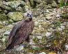 Nesting Monk vulture-Aegypius monachus-2867 (George Vittman) Tags: bird vulture mountains nesting branches wildlife wildlifephotography nikonpassion jav61photography jav61 photography fantasticnature ngc