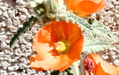 Desert Globemallow (time_anchor) Tags: sphaeralceaambigua mygarden gardening desertgardening flowers orangeflowers plants nature globemallow desertmallow apricotmallow
