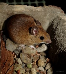 wood mouse inside the house (2) (Simon Dell Photography) Tags: wood mouse little house shirebrook valley sheffield nature wildlife birds animals spring views sights reserve s12 simon dell photography photos