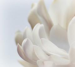 Magnolia Stellata (Sandra Leidholdt) Tags: magnolia hudsongardens littleton colorado blossom flower sandraleidholdt usa royalstar floral flowers fiori fleurs flores botanicalgardens blumen bloemen blooming petal magnoliastellata