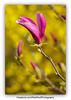 Magnolia on Forsythia. (rawprints) Tags: helios 442