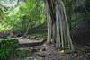 Trunyan Village Graveyard, Pohon ......, Bali 4 (Petter Thorden) Tags: bali indonesia kintamani lake gunung batur trunyan