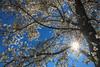 Under the Magnolia tree (FocusPocus Photography) Tags: frühling spring blauerhimmel bluesky magnolie magnolia baum tree inblüte blooming flowering