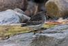 Purple Sandpiper (Calidris maritima) (steve_whitmarsh) Tags: aberdeen scotland nature wildlife animal birds coast beach rocks pebble water sea ocean purplesandpiper