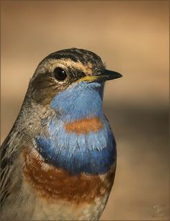 Blaukehlchen Portrait (Bluethroat)