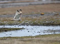 Jorduggla Short-eared Owl Asio flammeus (KNATON) Tags: jorduggla shortearedowl asioflammeus