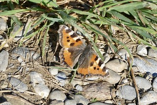 Distelfalter Cynthia Cardui Mariposa Butterfly Schmetterling Switzerland