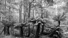 Tree Fern Forest (Polylepis) Tags: australia mountfield tasmania fern dicksoniaceae loxia2821 dicksoniaantarctica arfp trfp coolltemperatearf arffern mountfieldnationalpark