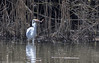 9Q6A9899 (2) (Alinbidford) Tags: alancurtis alinbidford brandonmarsh greatwhiteegret nature wildbirds wildlife