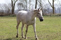 Jacky Boy (excellentzebu1050) Tags: horse animal livestock farm field outdoor coth5