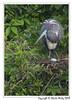 Just Had To Take A Break (wesjr50) Tags: sonyrx10mk4 animals naturewildlife naturallightphotography topaz nik photoshopcc photo picture wadingbirds nests egg behavior