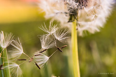 A Few Astray (Back Road Photography (Kevin W. Jerrell)) Tags: dandelion macro macrolife macrofilters backyardphotography downlow seeds