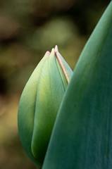 Hiding in plain sight! (susie2778) Tags: olympus omdem1mkii 60mmmacrof28 mft macro bordehill flower tulip bokeh olympusuk