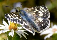 Checkered Skipper Butterfly... (Diana Kae) Tags: insect checkeredskipper butterfly pyrguscommunis hesperiidae nature missouri america usa dianawhite dianaobryan dianakae blue wings macro bug kansascity