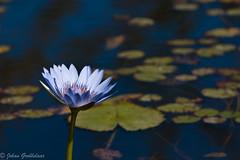 Blue Water lily (Johan Grobbelaar) Tags: flora waterlelie