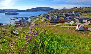 Qaqotoq / Grönland - Blumen in arktischer Region/Flowers in Arctic region