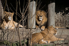 The King and The Queen (Fil931) Tags: king queen savana lion lioness nature fear supremacy animale leone leonessa natural
