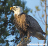 eagle 046f3e3e (Mike Black photography) Tags: bald eagle bird birding big year nature watching canon dslr 5dsr body 800mm usm is l lens nj new jersey shore trees nest nesting pair wildlife sky blue white black mike