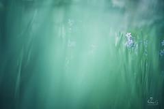 (Antoineos G.) Tags: fleur flower ombre lumiere sombre nature jacinthe sauvage flou macro