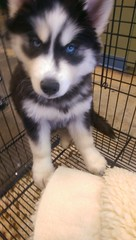 ... Do I Know You? (BargeCaptain) Tags: dog puppy cage calm blue pet eyes