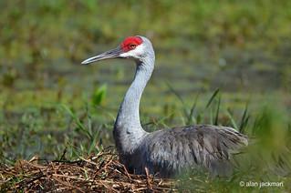 Sandhill Crane, Birds of the Circle B Bar Reserve