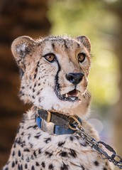 Ruuxa. (montusurf) Tags: cheetah portrait cat feline predator fast san diego safari park zoo ruuxa