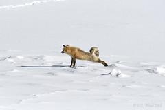 Fox trot: Stretch 2 (V. C. Wald) Tags: redfox vulpevulpes yellowstonenationalpark yellowstoneinwinter tamronsp150600f563divcusdg2