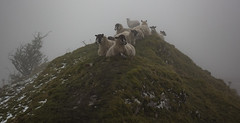Sheep That Have Obviously Seen It All Before! (Andy & Helen :-) :)) Tags: derbyshire fog helenholt hill ridge reclining humour snow cold morning walk farmanimals chromehill limestonereefknoll derbyshiresideoftheupperdovevalley england oslandranger119 atmospheric