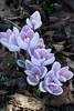 Crocus (evisdotter) Tags: crocus krokus flowers blommor spring colors macro sooc