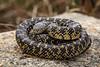 Speckled Kingsnake [Lampropeltis holbrooki] (kkchome) Tags: herp herping herpetology reptile snake serpent lampropeltis holbrooki kingsnake speckled usa kansas flint hills flipping nature wildlife fauna