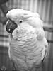 _DSC0074 (classic77) Tags: cockatoo bird parrot umbrella