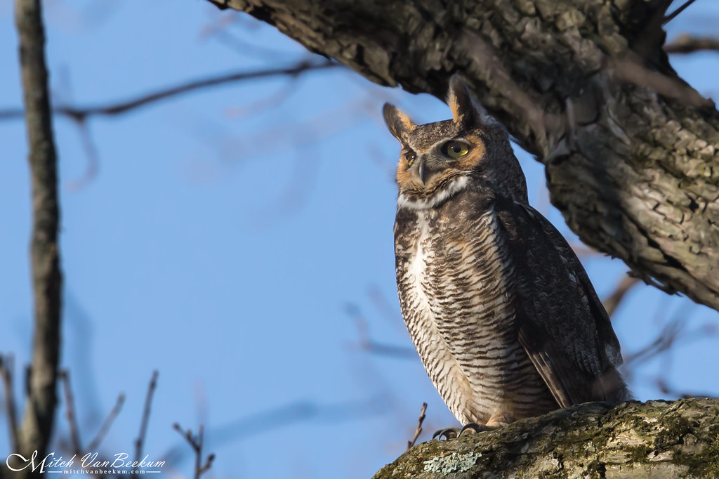 Quite a Hoot! (Great Horned Owl) - Explored
