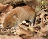 snuffling (westoncfoto) Tags: bankvole clumberpark