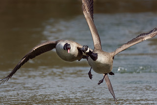 Geese fighting in the air (2/2)