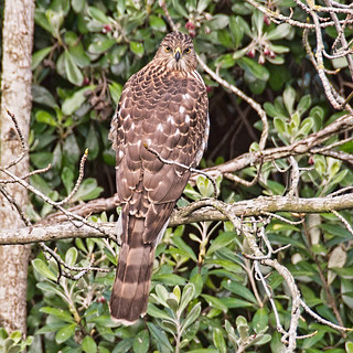 Back Side View of a Coopers Hawk Looking My Way.