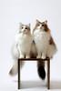 cats (428sr) Tags: nikon carlzeiss d850 aposonnart2135 zf2 studio cat cats norwegianforestcat neko ねこ 猫