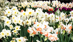 White Daffodils (ksblack99) Tags: hiddenlakegardens tipton michigan flowerbulb spring daffodil narcissus white