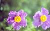 exakta_vx_trioplan_lens_kodak_portra_160_digibase_c41_home_kit_015_lotem (AVITAL - www.filmcamerasn.pictures) Tags: exakta kodak kodakportra digibase c41 spring nature flowers trioplan meyeroptik