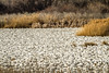 The Mass (JGemplerPhotography) Tags: snowgeese geese birds white