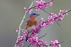 Eastern Bluebird (Alan Gutsell) Tags: birds birding wildlife texas texasbirds eastern bluebird easternbluebird houston park tree alan
