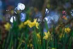 DSCF5473 (::nicolas ferrand simonnot::) Tags: nikon nikkor 35mm f 14 1977 | 9 blades aperture paris 2018 bokeh depth field color vintage manual classic japanese fixed length prime lens profondeur de champ flower close up macro yellow purpple extérieur wideopen wide open fleur daffodils jonquille daffodil