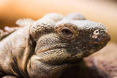 Lizard King (Thomas Hawk) Tags: america forestpark missouri mo saintlouiszoo stlouis usa unitedstates unitedstatesofamerica lizard reptile zoo fav10