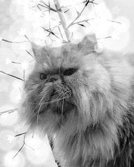 (rfellipe) Tags: bokeh luzes luz pet pb blackandwhite pretoebranco bw gato gatopersa persiancat persian catmoments